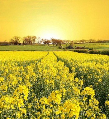 yellow-flowers-13
