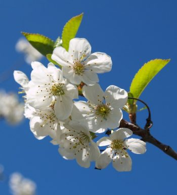 Cherry-Blossoms-and-Blue-Sky-1030x773
